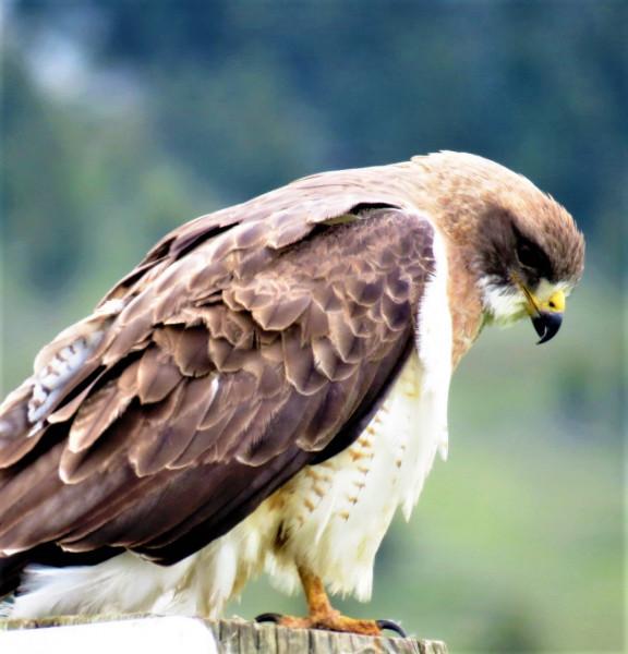 hawk-jackson-hole-2
